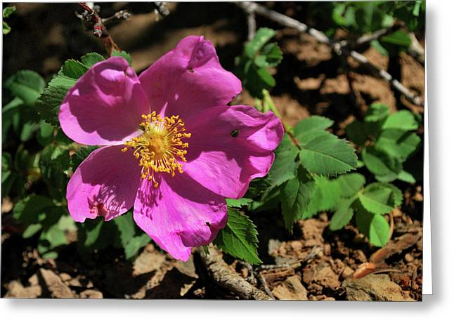 Greeting Card featuring the photograph Fuschsia Mountain Accent by Ron Cline