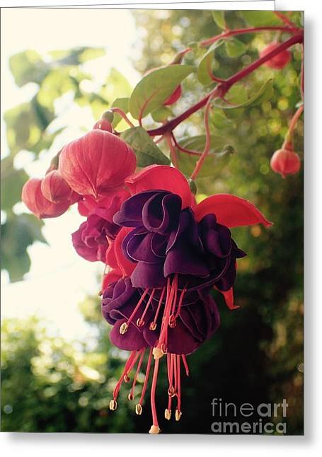 Fuchsia Mrs Popple 2 Greeting Card