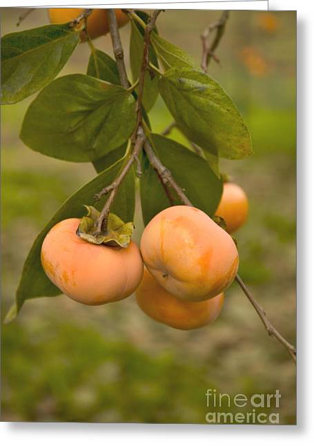 Fuyu Persimmons Greeting Card by Inga Spence
