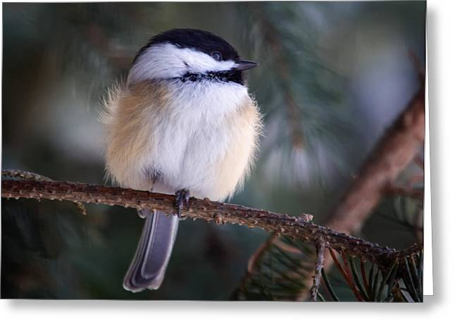 Fuzzy Chickadee Greeting Card