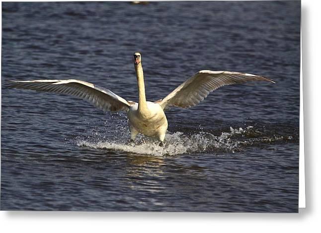 Gaceful Swan Greeting Card by Robert Pearson