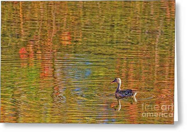 Gadwall In Fall Greeting Card by Gary Holmes