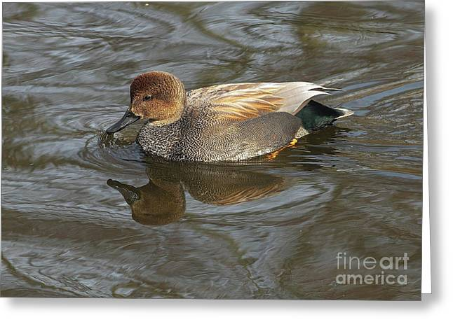 Gadwall  Greeting Card by Sharon Talson