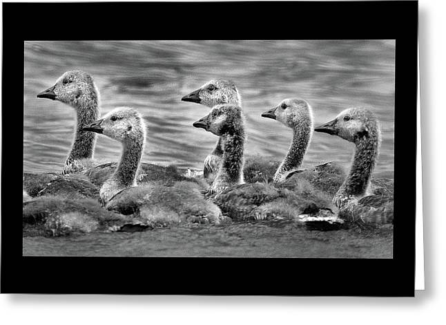 Gaggle Of Goslings Greeting Card