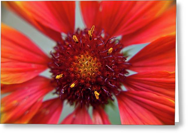 Greeting Card featuring the photograph Gaillardia by Brenda Jacobs