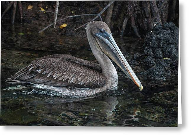 Galapagos Pelican Greeting Card