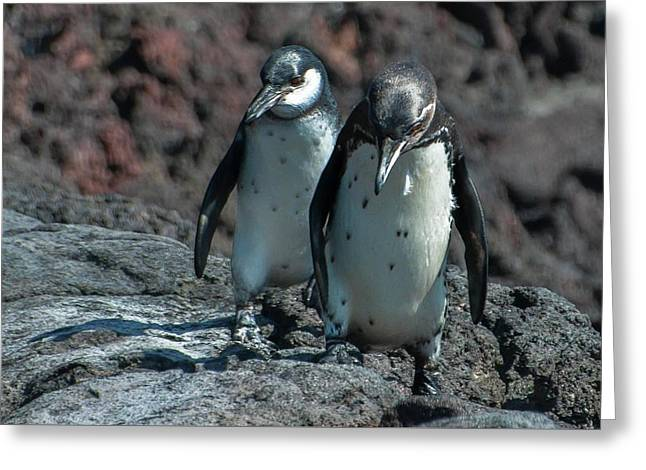 Galapagos Penguins  Bartelome Island Galapagos Islands Greeting Card
