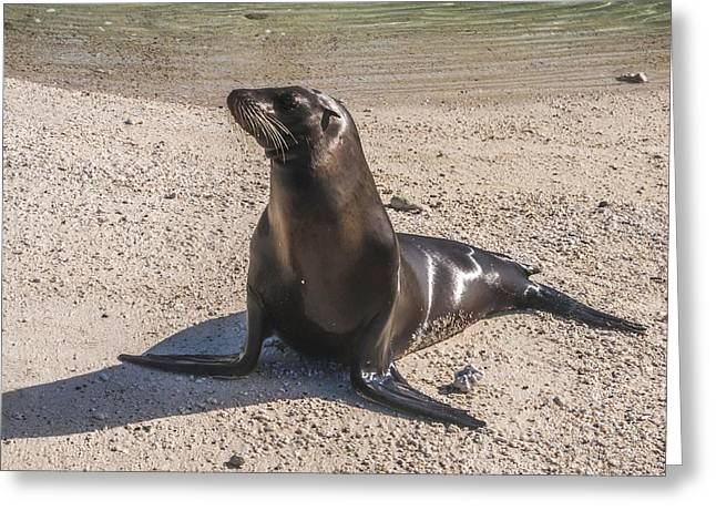 Galapagos Sea Lion Greeting Card