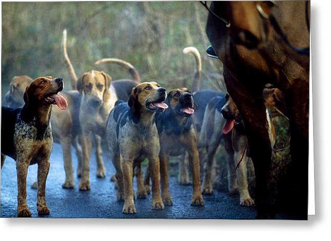 Foxhound Greeting Cards - Galway Blazers, Co Galway, Ireland Greeting Card by Sici