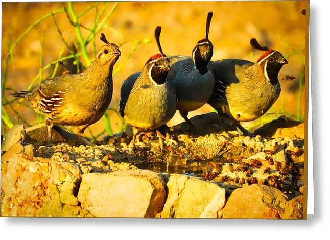 Gambel's Quail Foursome Greeting Card