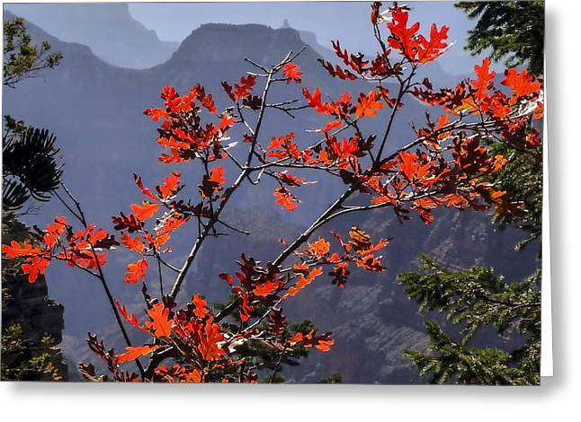 Gamble Oak In Crimson Fall Splendor Greeting Card