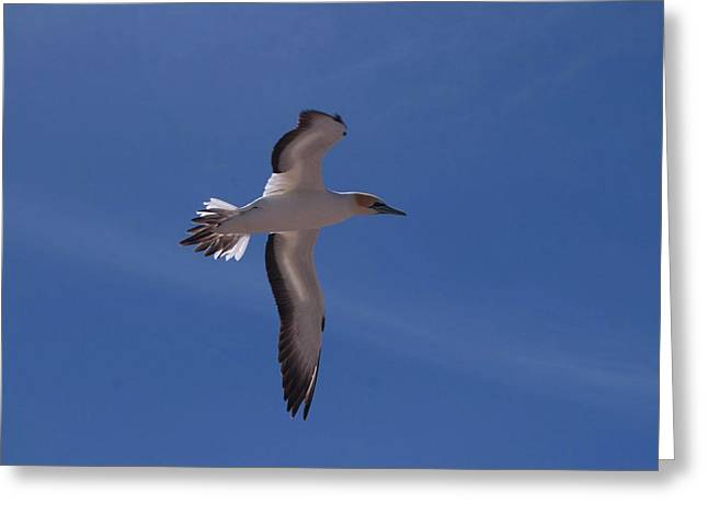 Gannet #3 Greeting Card