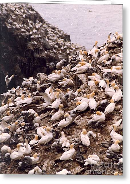 Greeting Card featuring the photograph Gannet Cliffs by Mary Mikawoz