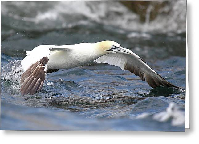 Gannet - Missed Catch Greeting Card
