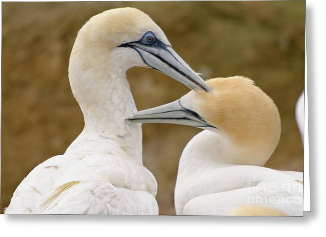 Gannet Pair 1 Greeting Card