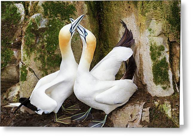 Gannet Passion Greeting Card