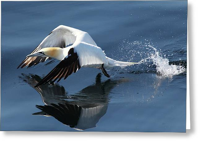 Gannet - Take Off Greeting Card
