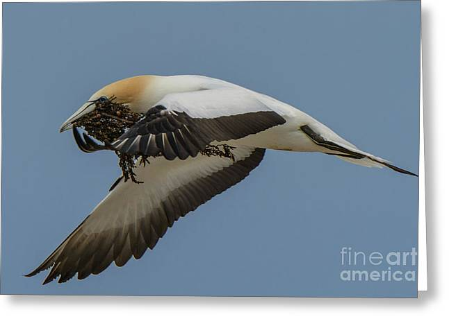 Greeting Card featuring the photograph Gannets 1 by Werner Padarin
