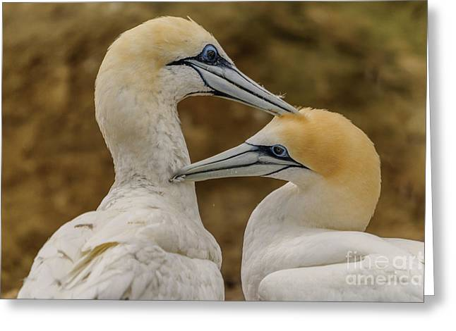 Gannets 4 Greeting Card by Werner Padarin