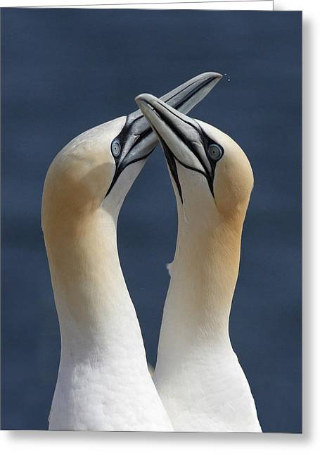Wildlive Greeting Cards - Gannets in love Greeting Card by Mircea Costina Photography