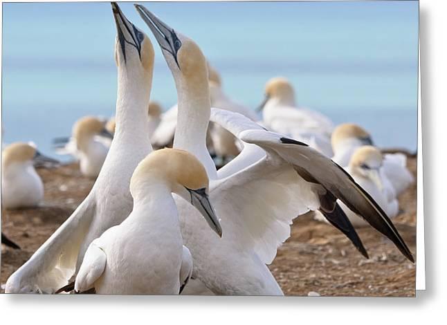 Gannets Greeting Card