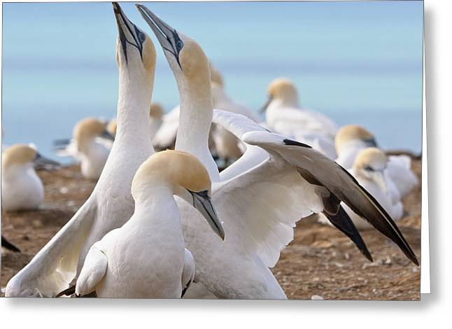 Gannets Greeting Card