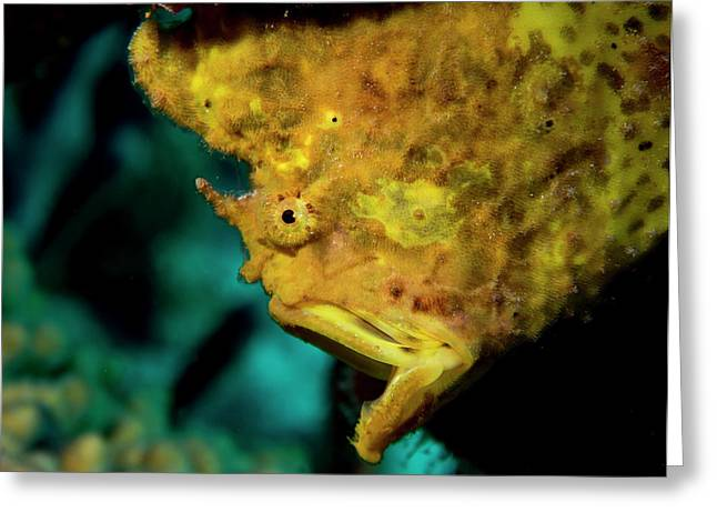 Gapping Frogfish Greeting Card by Jean Noren