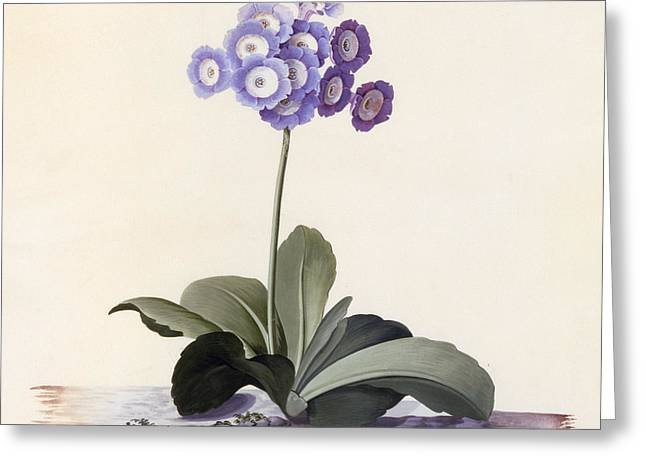 Garden Auricula Greeting Card by Georg Dionysius Ehret
