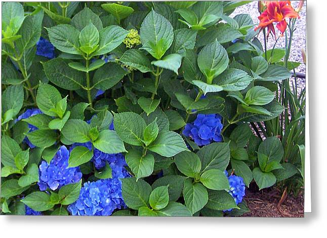 Garden Blues With A Touch Of Red Greeting Card by Patricia Taylor