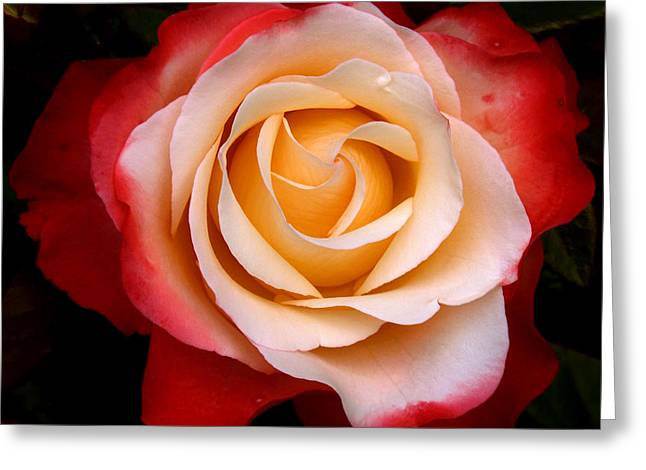 Greeting Card featuring the photograph Garden Rose by Luc Van de Steeg