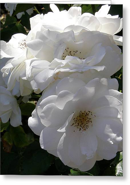 Garden Roses Photo Greeting Card by Judy Mercer