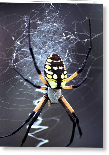 Garden Spider Greeting Card by Bob Guthridge