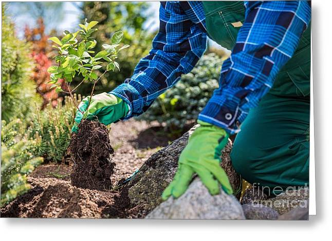 Gardener Planting New Tree In A Garden. Greeting Card