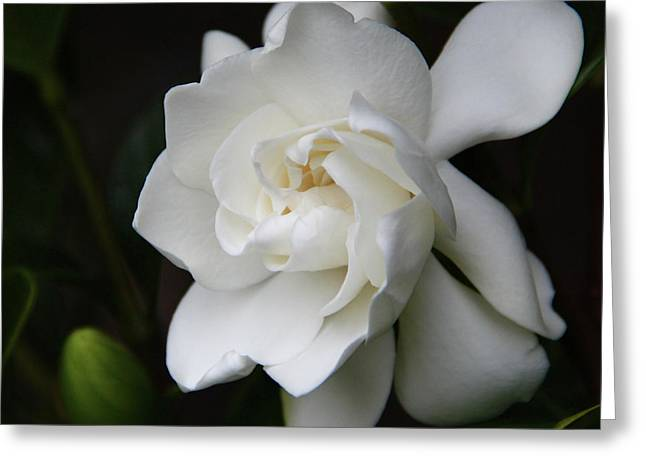 Gardenia - II Greeting Card