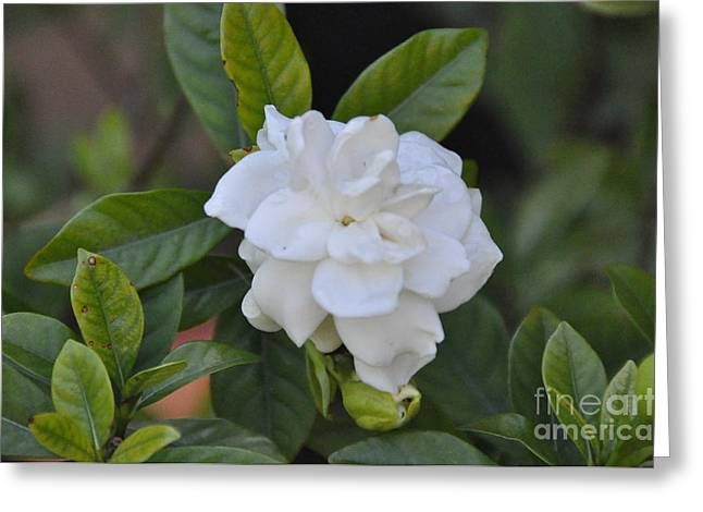 Greeting Card featuring the photograph Gardenia by John Black