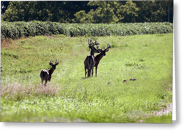 Gathering Of Bucks Greeting Card