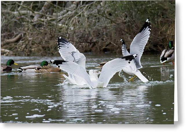 Gathering Of Egrets Greeting Card