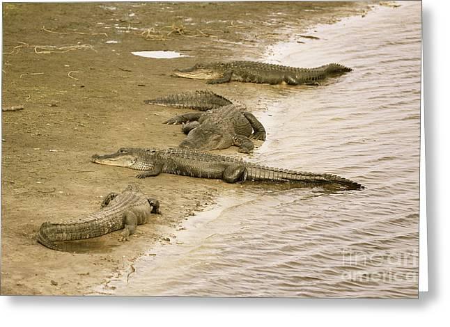 Gator Hangout In Sepia Greeting Card