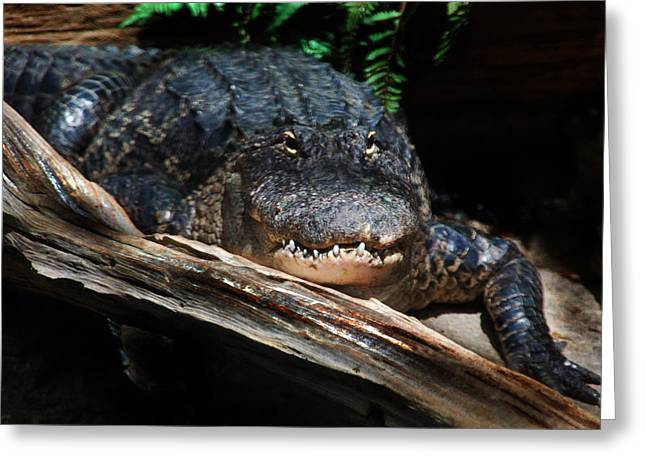 Greeting Card featuring the photograph Gator Resting by Kathleen Stephens