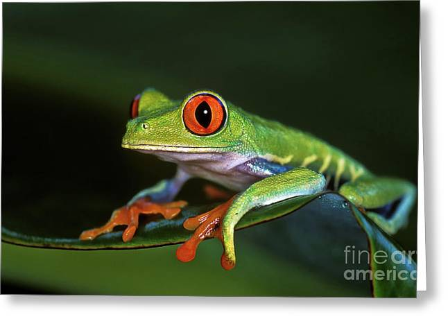 Gaudy Leaf Frog - Costa Rica Greeting Card by Henk Meijer Photography