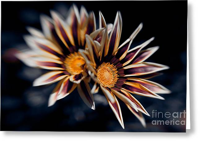 Gazania Duo Greeting Card