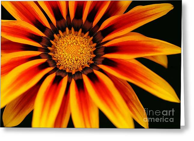 Gazania L Greeting Card