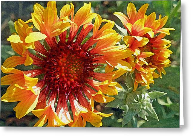 Gazanias Greeting Card