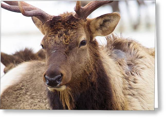 Greeting Card featuring the photograph Gaze From A Bull Elk by Jeff Swan