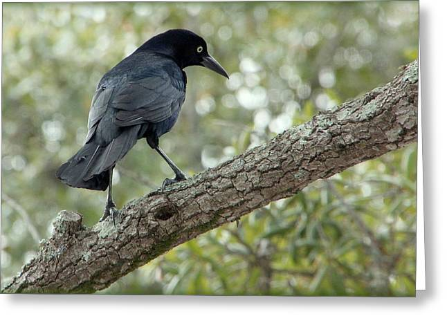 Gazing Grackle Greeting Card