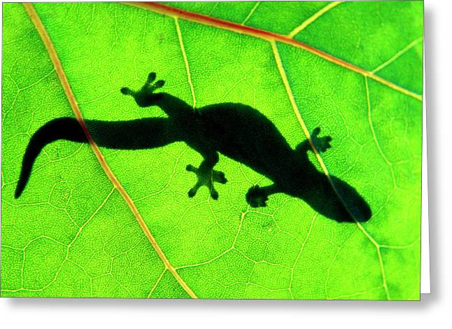 Gecko Silhouette On Green Leaf, North Shore, 1998 Greeting Card by Sean Davey