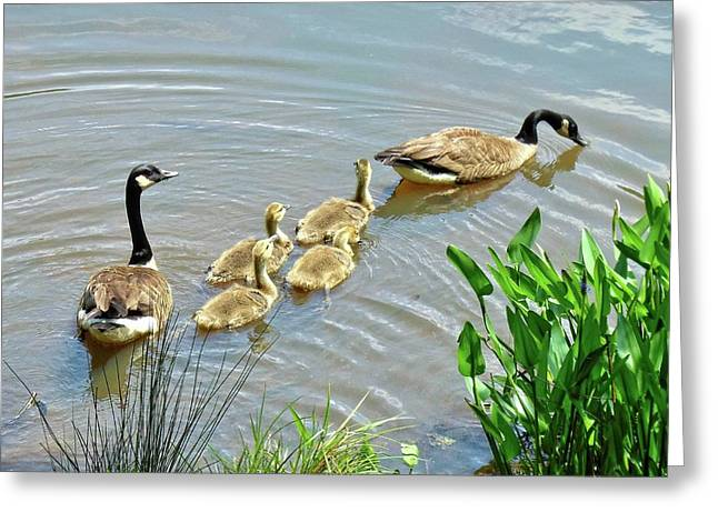 Geese And Goslings Greeting Card