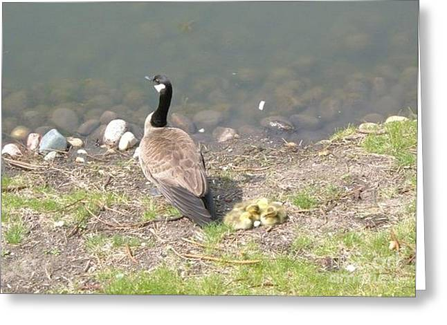 Geese Family Greeting Card by DebiJeen Pencils