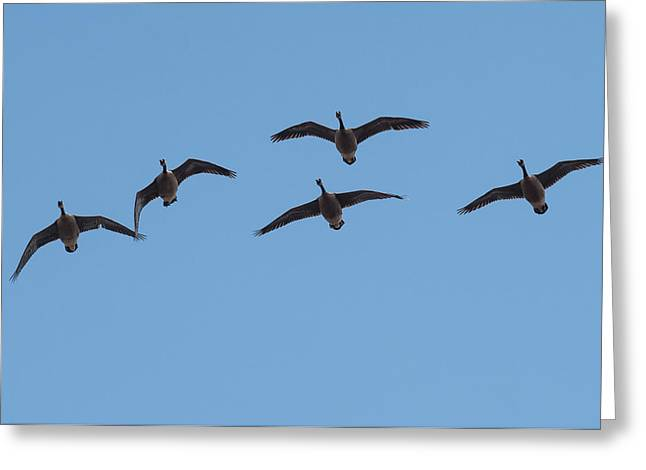 Geese Overhead Greeting Card by Paul Freidlund
