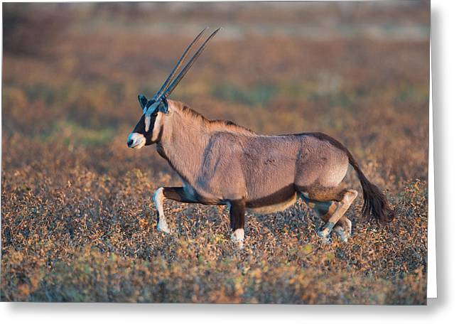 Gemsbok Oryx Gazelle In A Field, Etosha Greeting Card by Panoramic Images